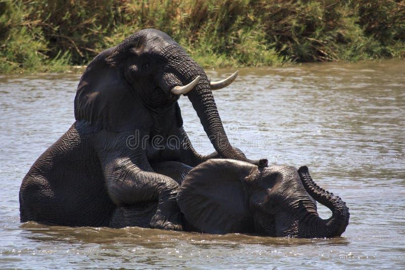 Πάλη παιχνιδιού ελεφάντων στοκ φωτογραφία