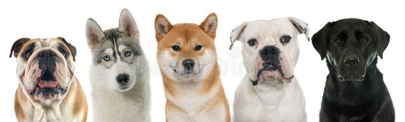 Πέντε καθαρής φυλής σκυλιά στοκ φωτογραφία με δικαίωμα ελεύθερης χρήσης