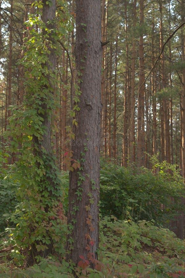 Πέντε-με φύλλα κισσός που αναρριχείται ιδιαίτερα στον κορμό πεύκων σταθερά προσκολμένος στοκ φωτογραφίες με δικαίωμα ελεύθερης χρήσης