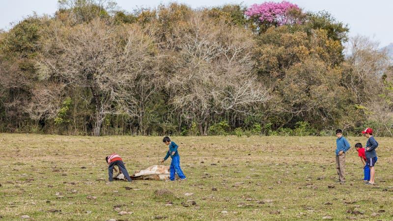 Πέντε μικρά παιδιά με μια νεκρή αγελάδα σε μια αγελάδα βόσκουν στην Παραγουάη στοκ εικόνες