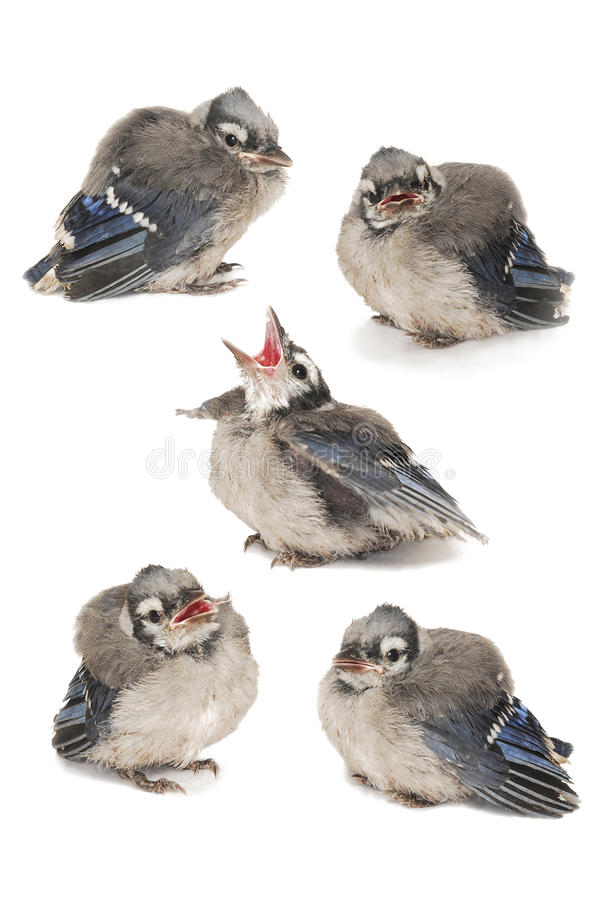 Πέντε μωρό Robin Image Composite στοκ εικόνες