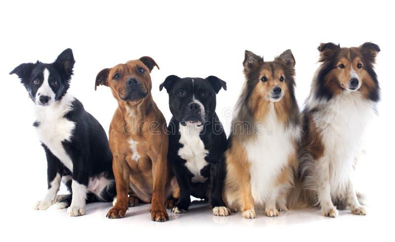 Πέντε σκυλιά στοκ φωτογραφίες