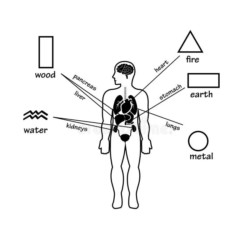 Πέντε στοιχεία και ανθρώπινα όργανα Σκιαγραφία περιλήψεων του ατόμου ελεύθερη απεικόνιση δικαιώματος
