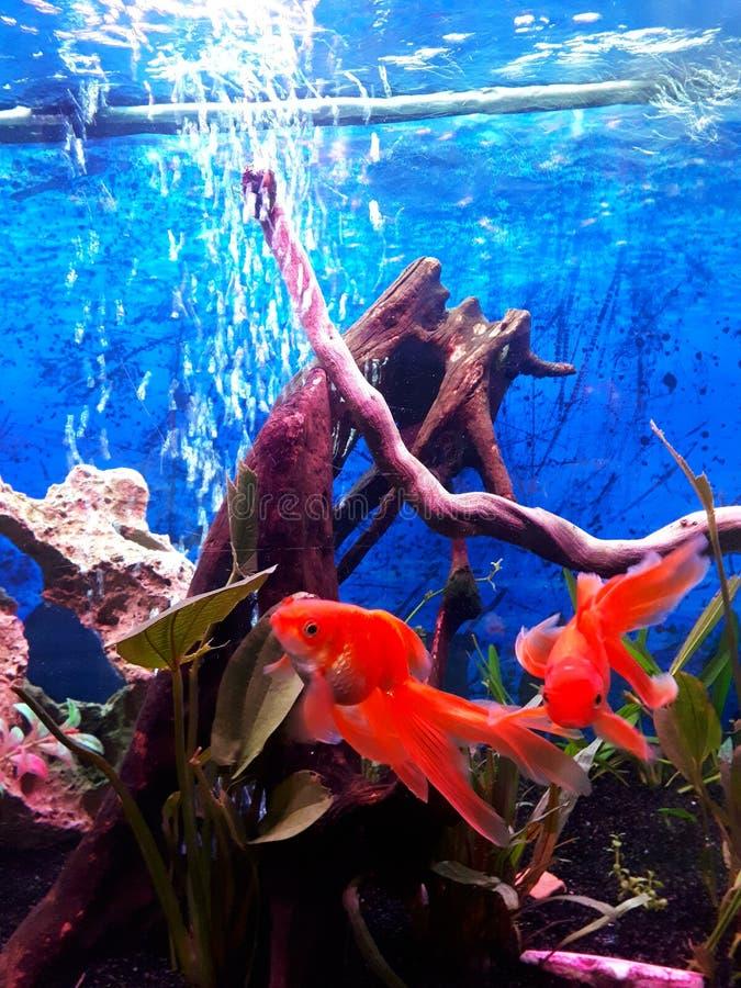2 πέπλο GA ik goldfishes που κολυμπά στο ενυδρείο & x28 μου  στοκ εικόνες με δικαίωμα ελεύθερης χρήσης