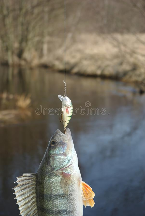 Πέρκα στην αλιεύω-ράβδο στοκ φωτογραφία με δικαίωμα ελεύθερης χρήσης