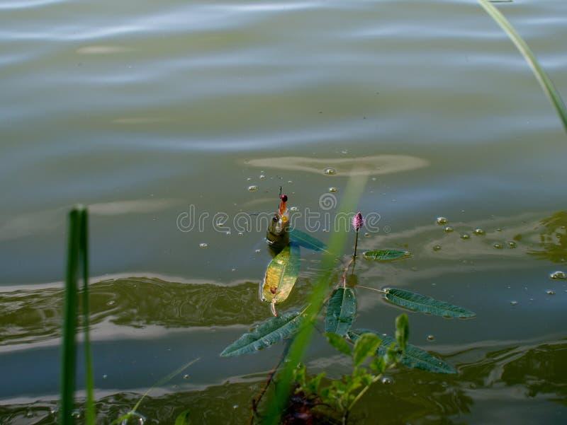 Πέρκα στην αλιεύω-ράβδο στοκ εικόνες με δικαίωμα ελεύθερης χρήσης