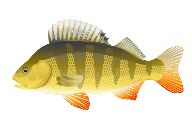 Πέρκα ψαριών ελεύθερη απεικόνιση δικαιώματος