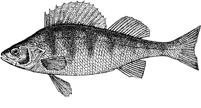 πέρκα ψαριών στοκ εικόνες