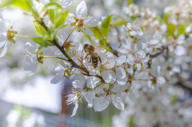 πέταγμα μελισσών στοκ φωτογραφίες με δικαίωμα ελεύθερης χρήσης