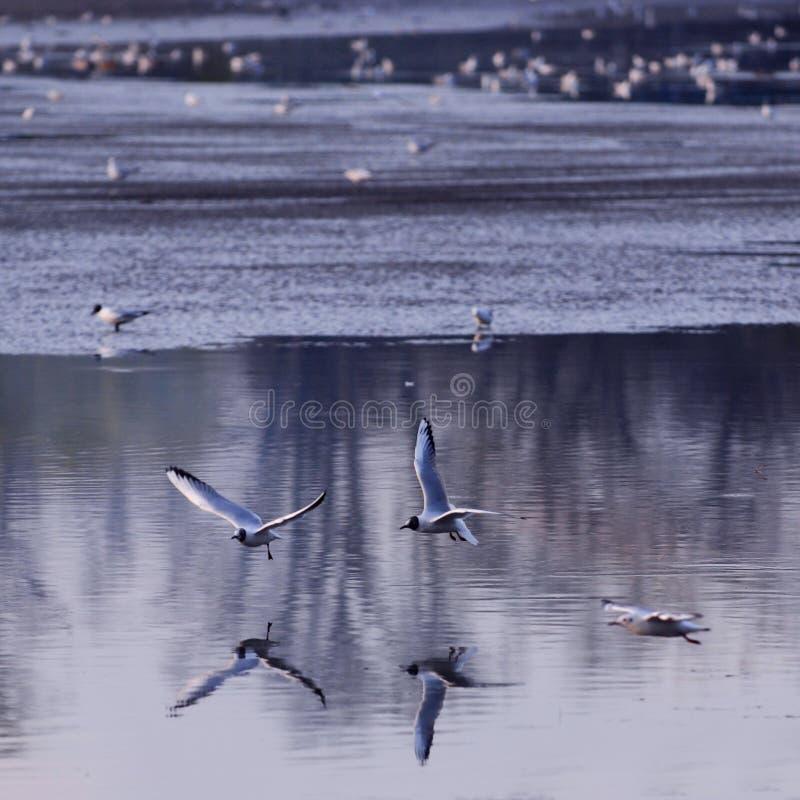 πέταγμα πέρα από seagulls το ύδωρ στοκ εικόνες