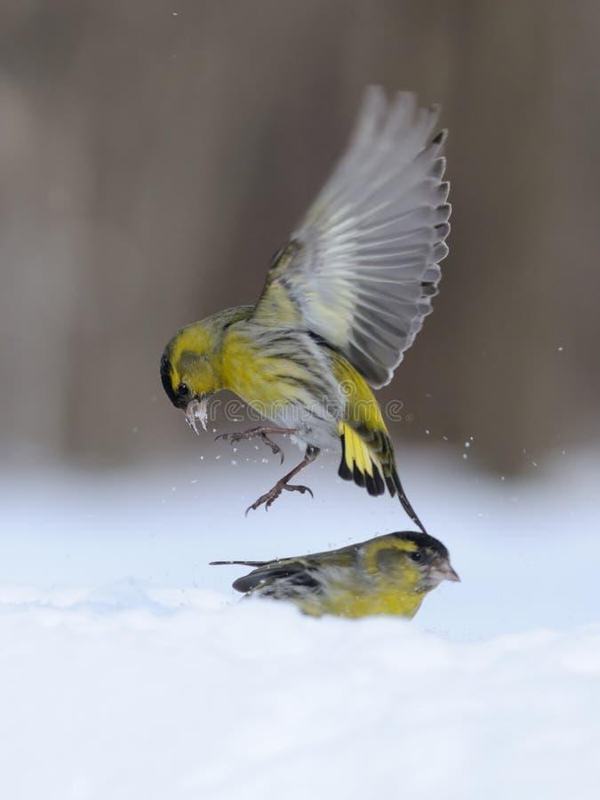 Πέταγμα Siskin επάνω από snowdrift στοκ εικόνα με δικαίωμα ελεύθερης χρήσης