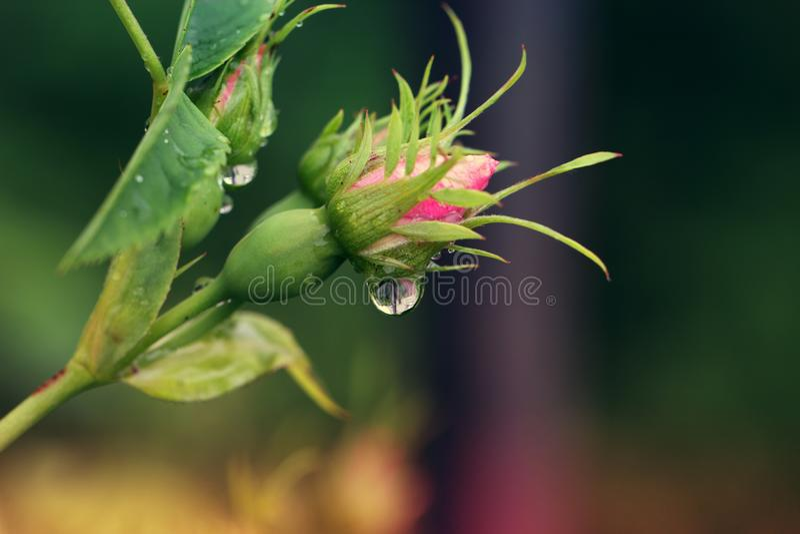 Πέταλα που ψεκάζονται με τις πτώσεις βροχής Αυξήθηκε κινηματογράφηση σε πρώτο πλάνο λουλουδιών Άνθος ρ στοκ φωτογραφίες