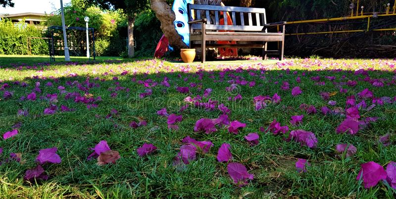 Πέταλα του bougainvillea στη χλόη στον κήπο με την παιδική χαρά, οικογενειακό στοκ εικόνες