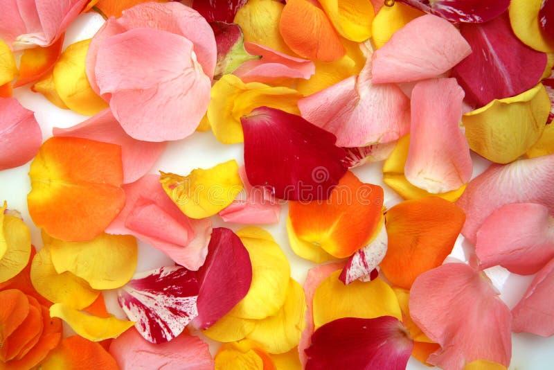 Πέταλα των χρωματισμένων τριαντάφυλλων στοκ εικόνες με δικαίωμα ελεύθερης χρήσης