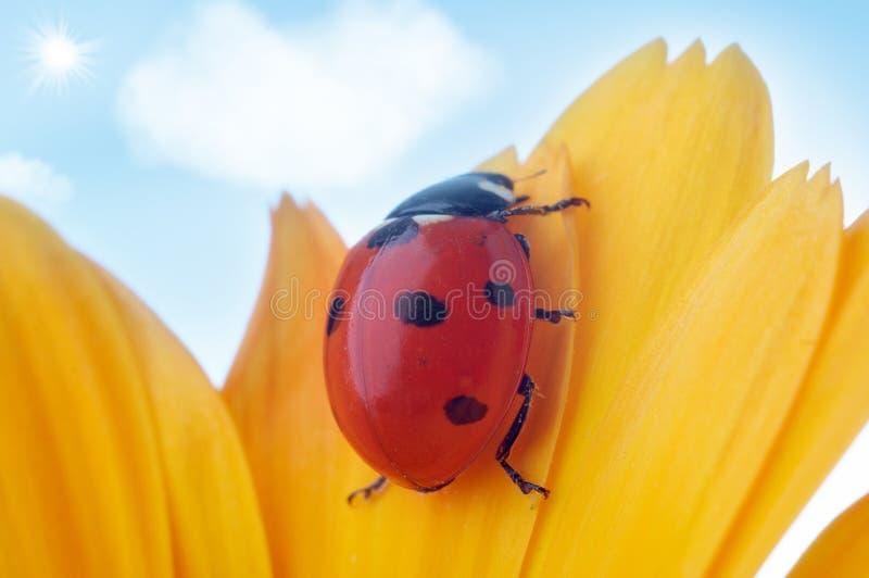 πέταλο λουλουδιών ladybug κίτ&rh στοκ εικόνα με δικαίωμα ελεύθερης χρήσης