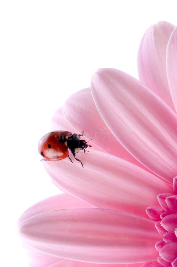 πέταλο λουλουδιών ladybug στοκ εικόνα με δικαίωμα ελεύθερης χρήσης