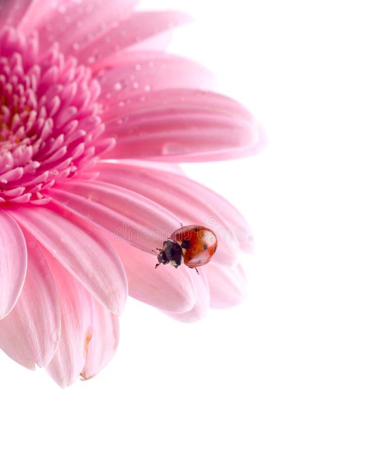 πέταλο λουλουδιών ladybug στοκ εικόνες με δικαίωμα ελεύθερης χρήσης