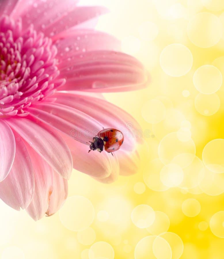πέταλο λουλουδιών ladybug στοκ εικόνα