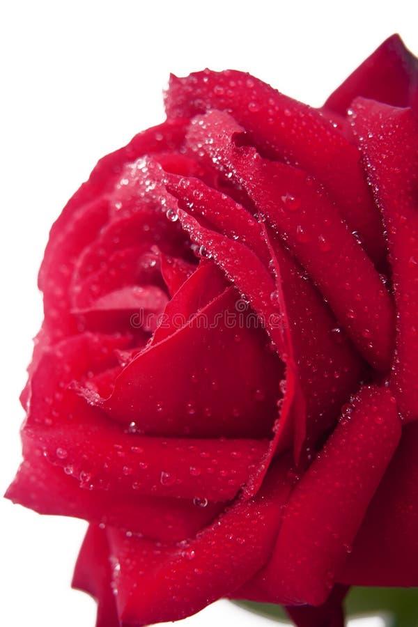 Πέταλα τριαντάφυλλων στοκ εικόνα