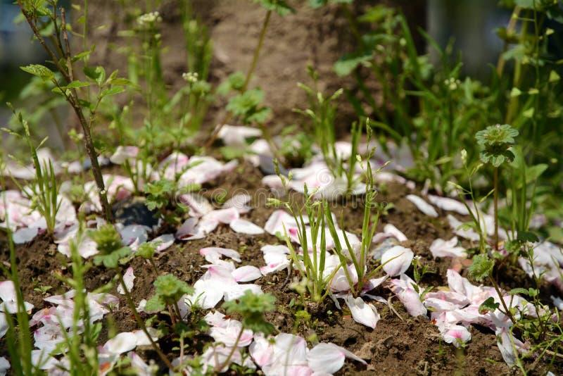 Πέταλο κλάδων ροδάκινων και έδαφος χλόης στοκ εικόνα με δικαίωμα ελεύθερης χρήσης