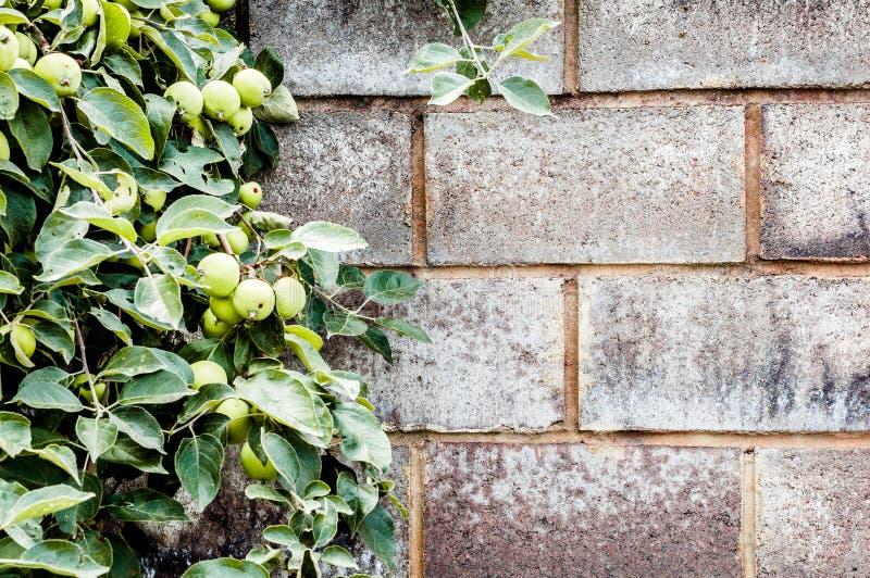 Πέτρινοι τοίχος και κλάδος της Apple στοκ εικόνες
