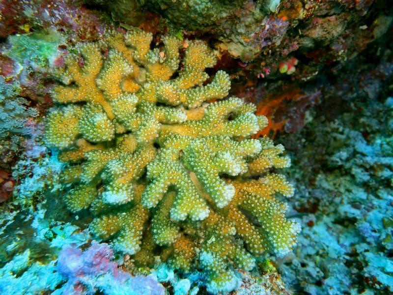 Πέτρινο κοράλλι στοκ φωτογραφία με δικαίωμα ελεύθερης χρήσης