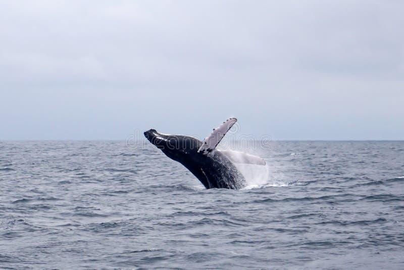 Πήδημα φαλαινών Humpback στοκ εικόνα