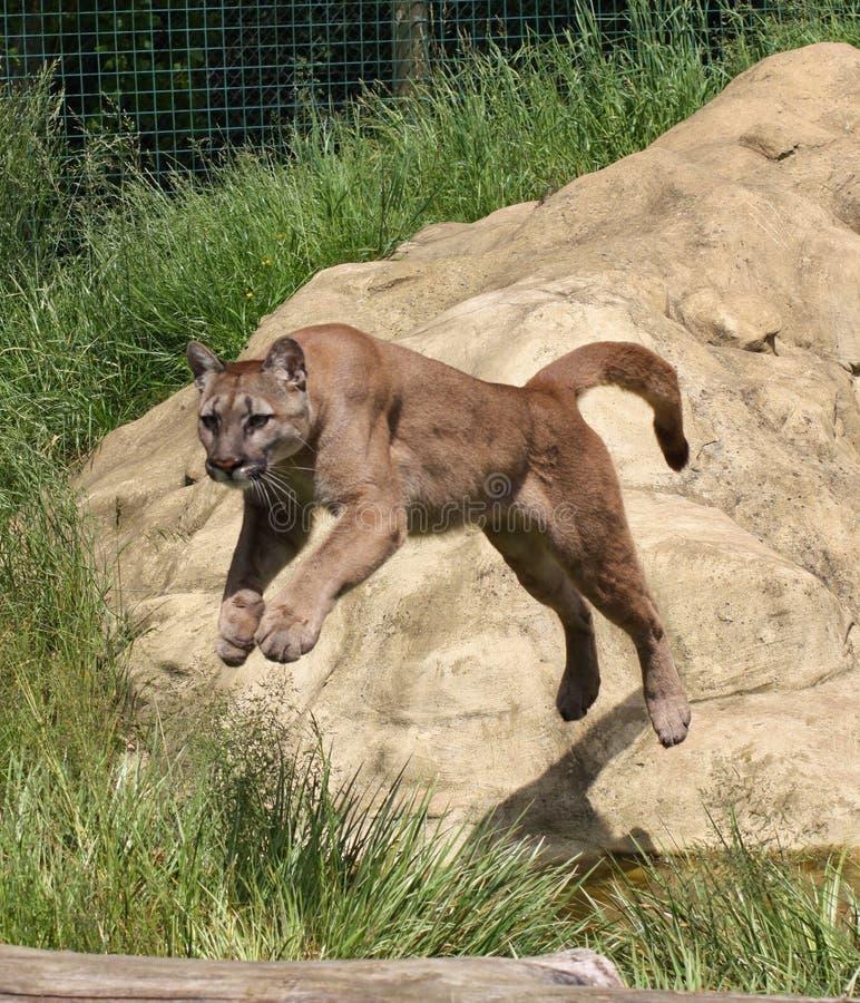 Πήδημα Cougar στοκ φωτογραφίες