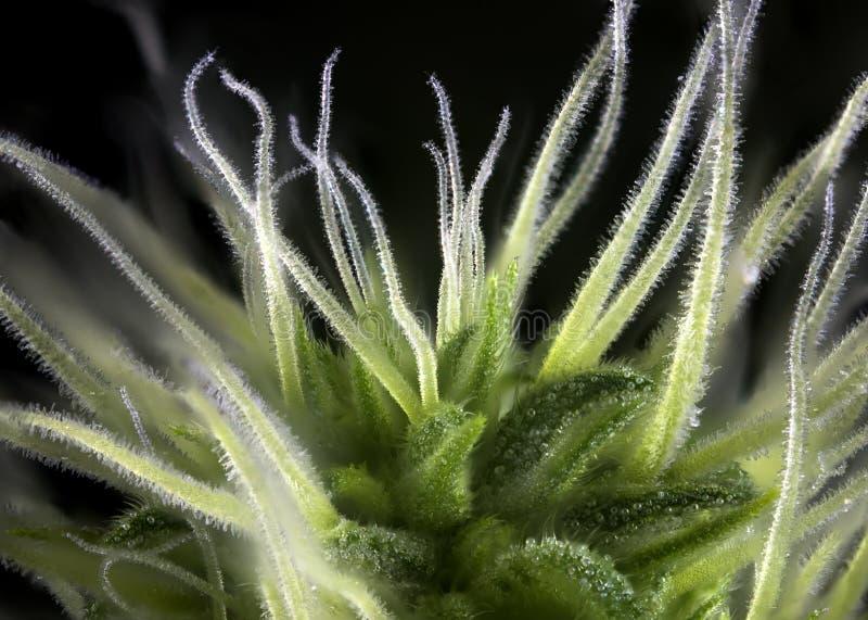 Πίεση μαριχουάνα Thousand Oaks οφθαλμών καννάβεων με τις ορατές τρίχες στοκ φωτογραφία με δικαίωμα ελεύθερης χρήσης