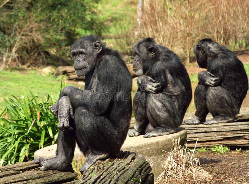 πίθηκοι τρία σοφοί στοκ εικόνες με δικαίωμα ελεύθερης χρήσης