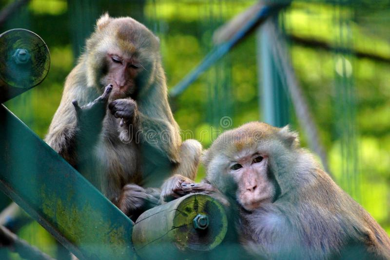 πίθηκοι δύο στοκ φωτογραφία με δικαίωμα ελεύθερης χρήσης