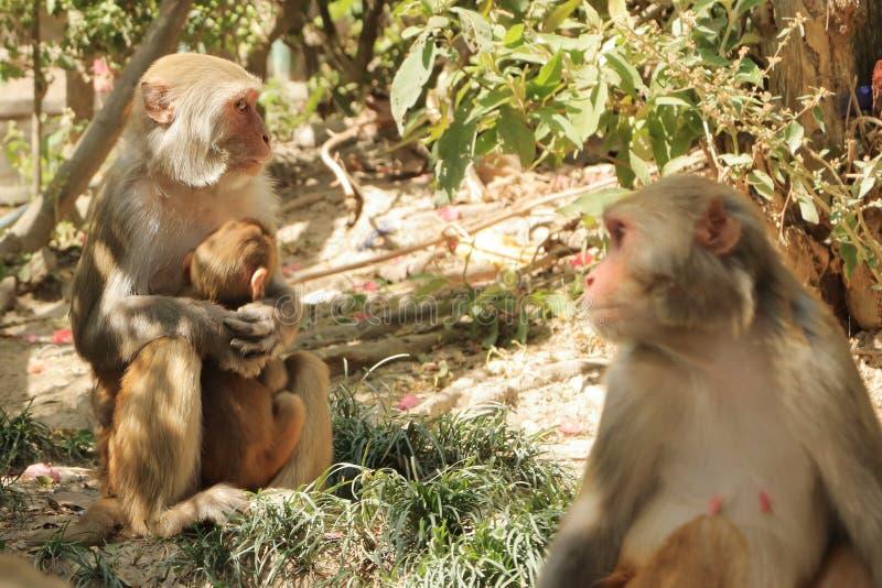 Πίθηκοι Macaque σε έναν ναό στο Κατμαντού στο Νεπάλ, πίθηκος στοκ εικόνα με δικαίωμα ελεύθερης χρήσης