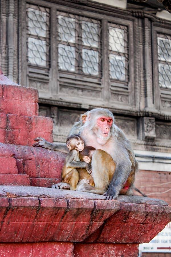 Πίθηκοι Macaque σε Swayambhunath Stupa (ο ναός πιθήκων), Κατμαντού, Νεπάλ στοκ εικόνες