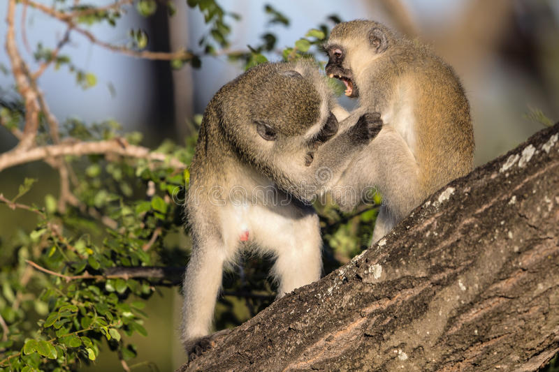 Πίθηκοι Vervet στο εθνικό πάρκο Kruger στοκ φωτογραφία με δικαίωμα ελεύθερης χρήσης