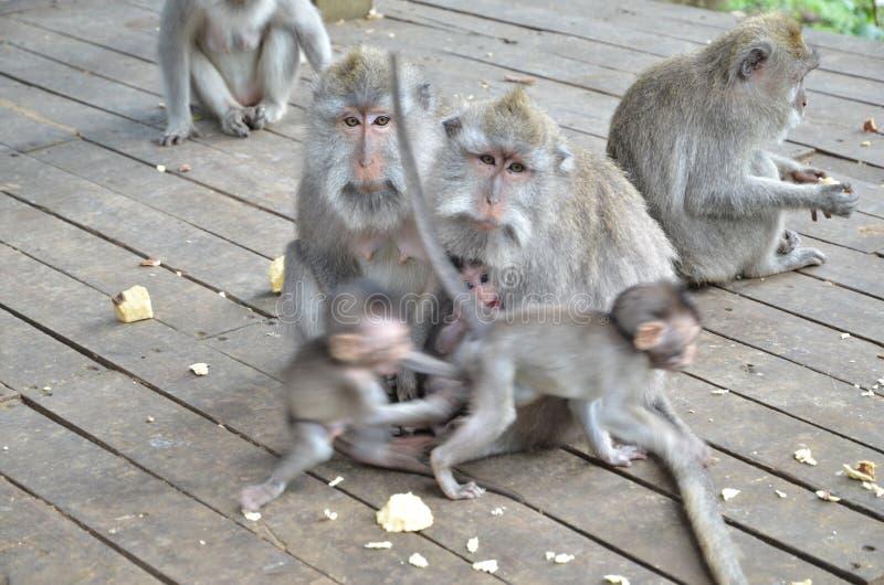 Πίθηκος από το δάσος πιθήκων στο νησί του Μπαλί στοκ εικόνα με δικαίωμα ελεύθερης χρήσης