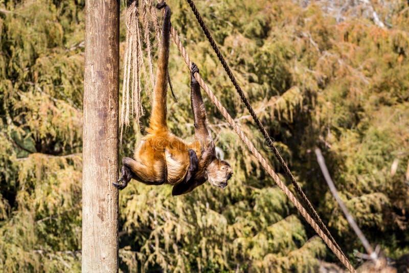 Πίθηκος αραχνών, βιβλικός ζωολογικός κήπος της Ιερουσαλήμ στο Ισραήλ στοκ φωτογραφία με δικαίωμα ελεύθερης χρήσης