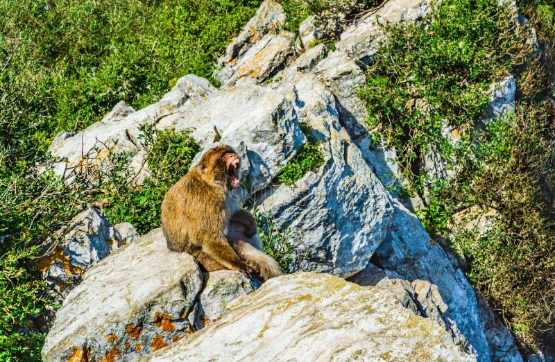 Πίθηκος Βαρβαρίας που βρυχείται σε έναν βράχο στοκ φωτογραφία