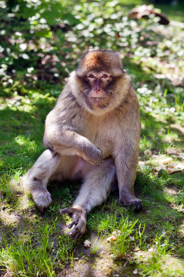 πίθηκος Βαρβαρία στοκ εικόνα