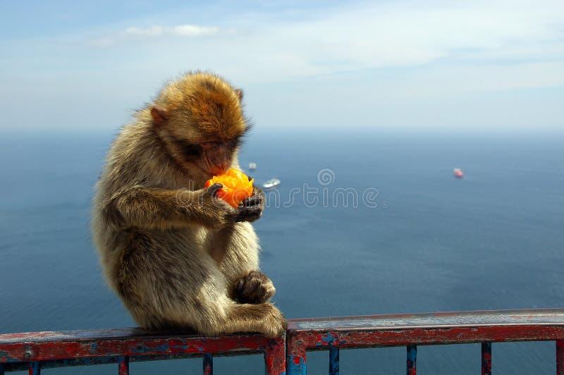 Download πίθηκος Γιβραλτάρ στοκ εικόνα. εικόνα από φραγή, πίθηκος - 110899