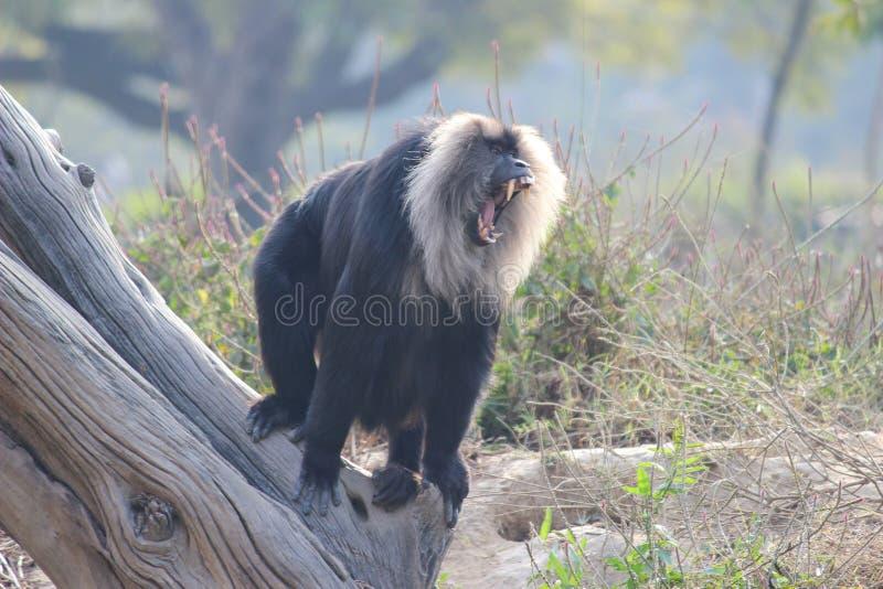 Πίθηκος εξοργισμού στοκ εικόνες