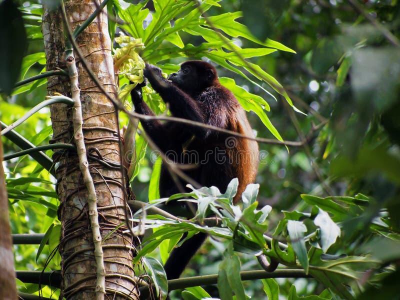 πίθηκος μαργαριταριού στοκ φωτογραφία