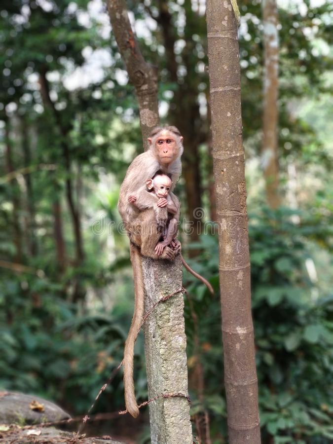 Πίθηκος μητέρων που φροντίζει για το μωρό του στοκ εικόνες
