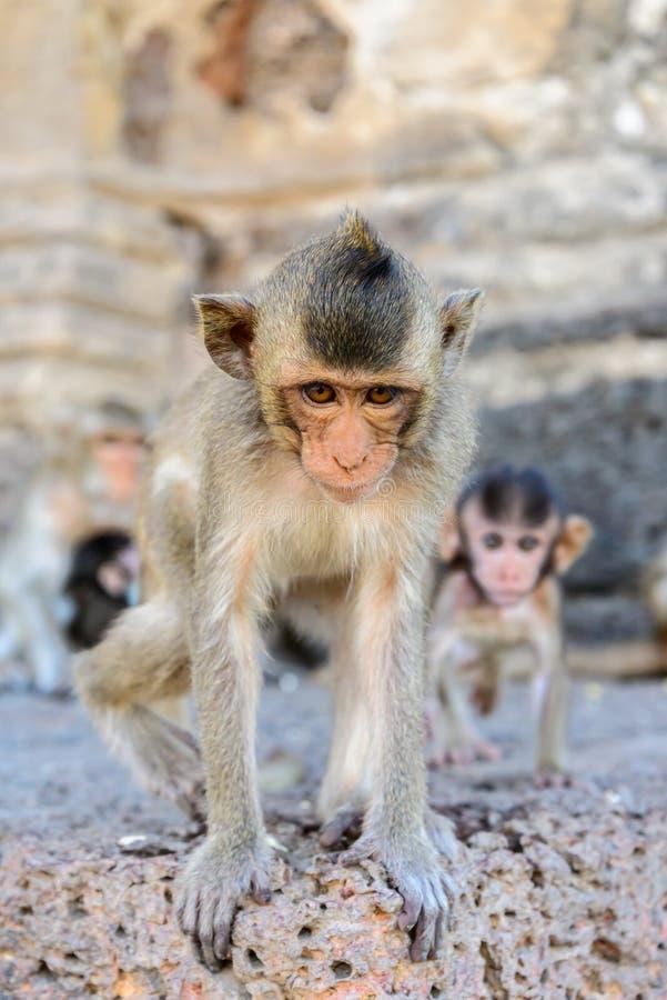 Πίθηκος μωρών σε Lopburi, Ταϊλάνδη στοκ φωτογραφία