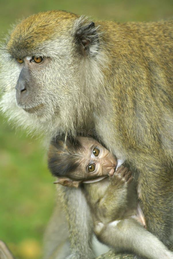 πίθηκος μωρών mom στοκ φωτογραφία