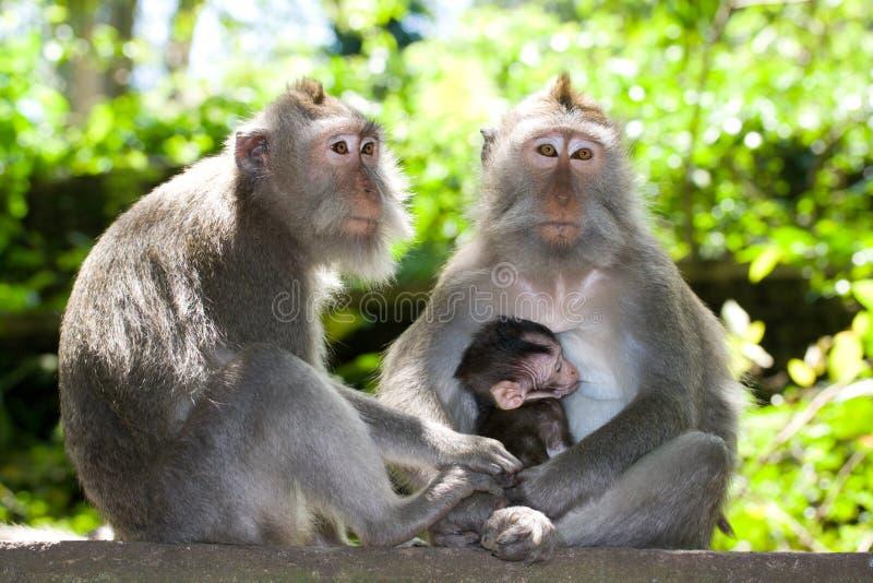 πίθηκος οικογενειακών macaques που παρακολουθείται μακρύς στοκ εικόνα
