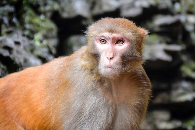 Πίθηκος, ο ρήσος μακάκος Macaque, πίθηκος Παλαιών Κόσμων, Κίνα στοκ εικόνες