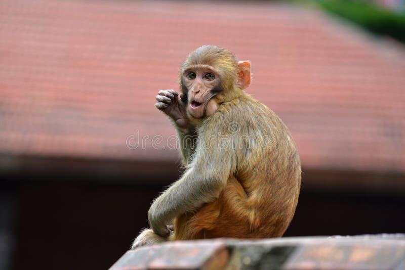 Πίθηκος, ο ρήσος μακάκος macaque (mulatta Macaca) στοκ εικόνες με δικαίωμα ελεύθερης χρήσης