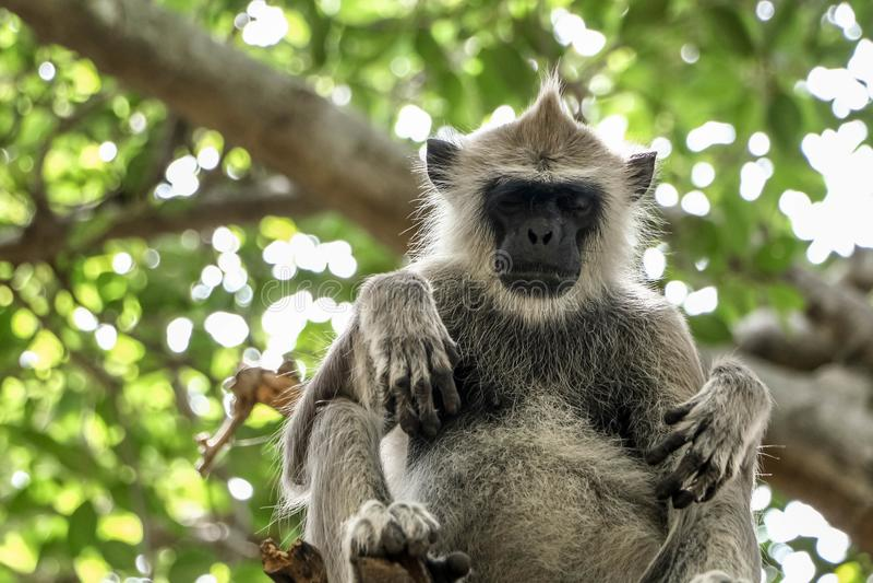 Πίθηκος πιθήκων langur ύπνου γκρίζος στο δέντρο στοκ εικόνα