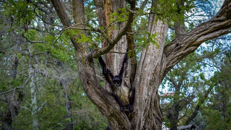 Πίθηκος που αναρριχείται στο δέντρο στοκ εικόνες