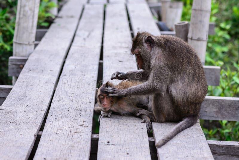 Πίθηκος που ελέγχει το παράσιτο για το σύντροφό του στοκ φωτογραφίες με δικαίωμα ελεύθερης χρήσης